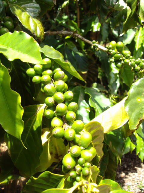 Green (unripe) Coffee Cherries in Hanalei, HI