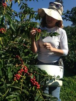 Lisa McIntyre at 2,400 feet picking Red Bourbon.