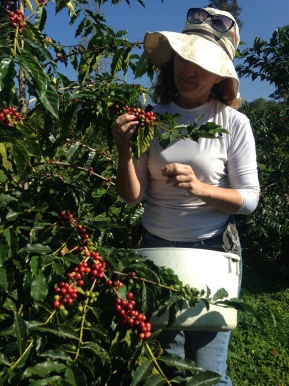 Lisa McIntyre at 2,400 feet picking Red Bourbon.