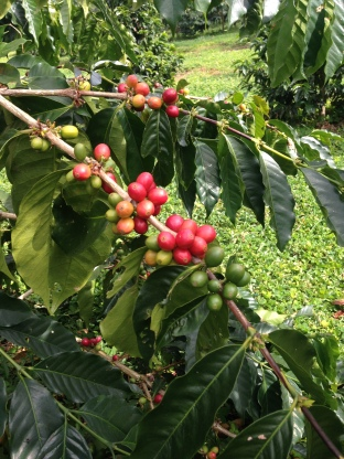 Harvest time is year round at Hula Daddy Kona Coffee